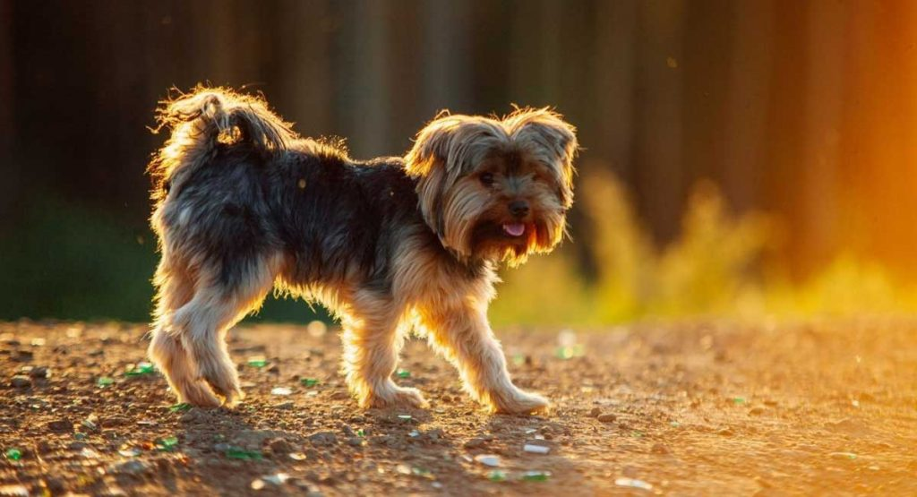 How to Take Care of Yorkshire Terriers
