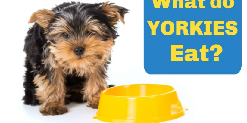 yorkie puppy by yellow bowl