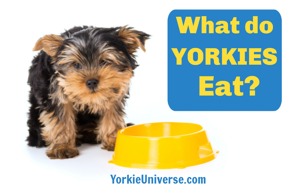 What do Yorkshire terriers eat? Read this article to find out what you should feed your Yorkie and what you should avoid.