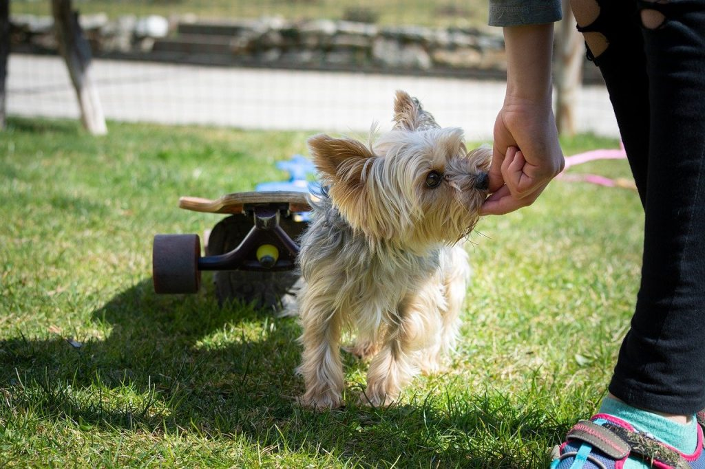 Yorkie outside sniffing a person's hand