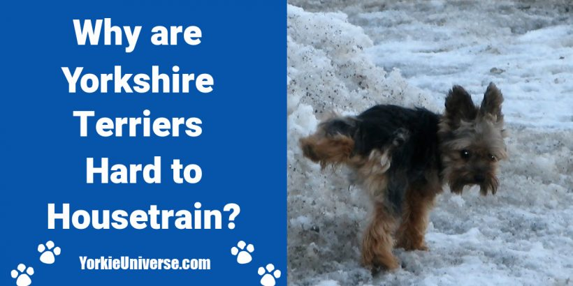 yorkie dog outside peeing in snow