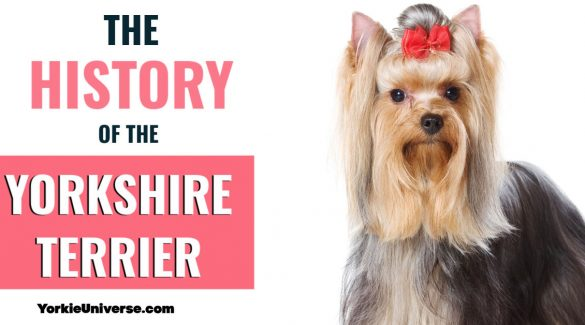 Yorkshire terrier with red bow
