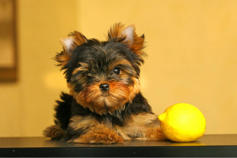 Yorkie puppy with lemon