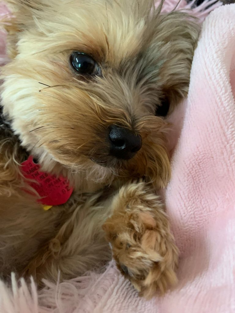 sweet yorkie puppy laying on pink blanket