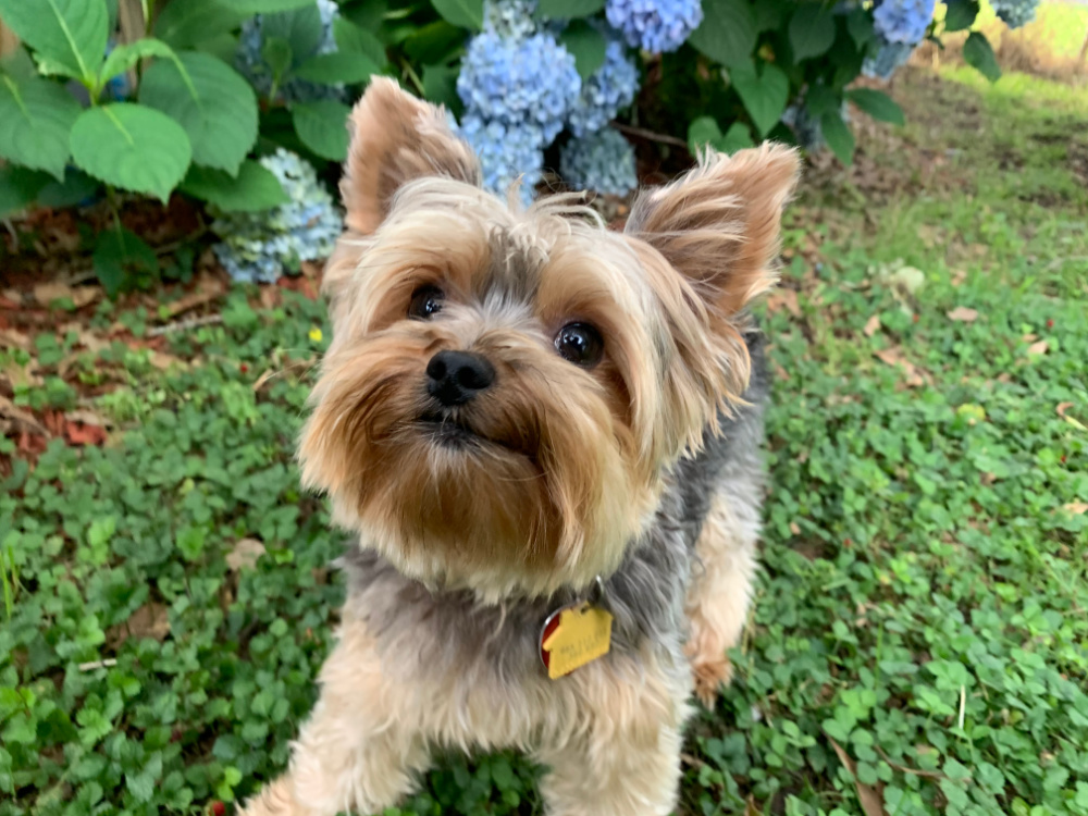 yorkshire terrier looking up in grass with blue flowers in background