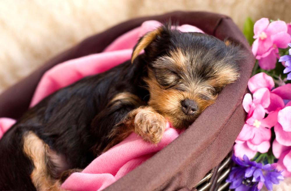 sleeping yorkie puppy