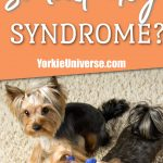 2 Yorkshire Terriers looking up with 1 barking