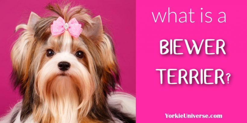 Biewer Terrier with pink bow