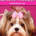 a Biewer terrier with pink bow