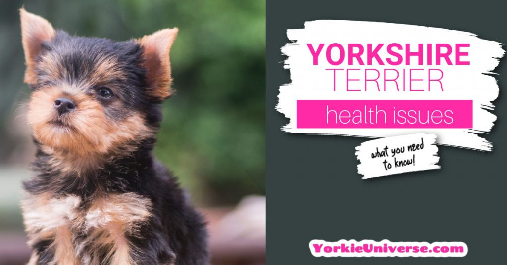 Yorkshire terrier puppy looking up
