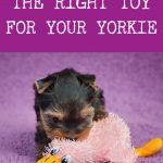 yorkie puppy playing with pink duck toy