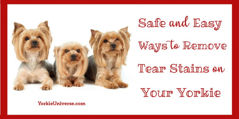 3 Yorkshire Terriers laying down and looking up