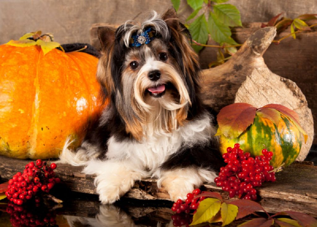 Biewer terrier with Fall vegetables and pumpkins in the background