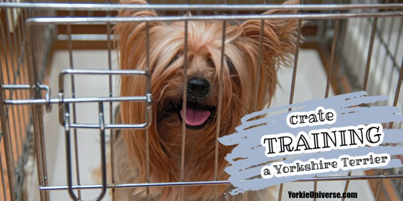 Yorkie peering out of a crate