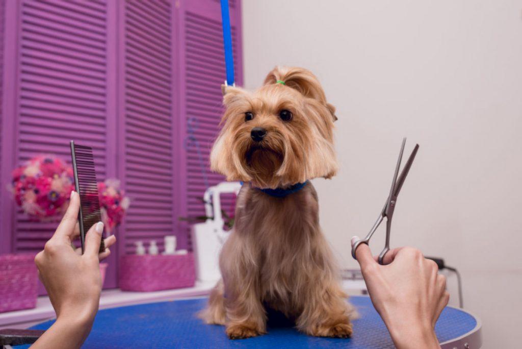 Yorkie being groomed