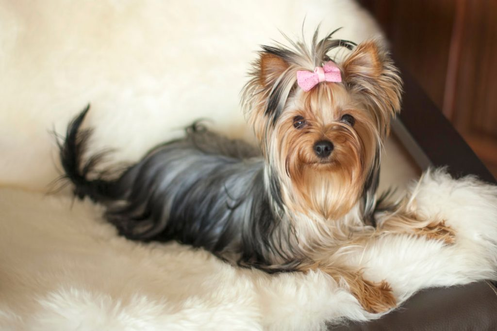 female yorkie with pink ribbon laying on cream colored blanket