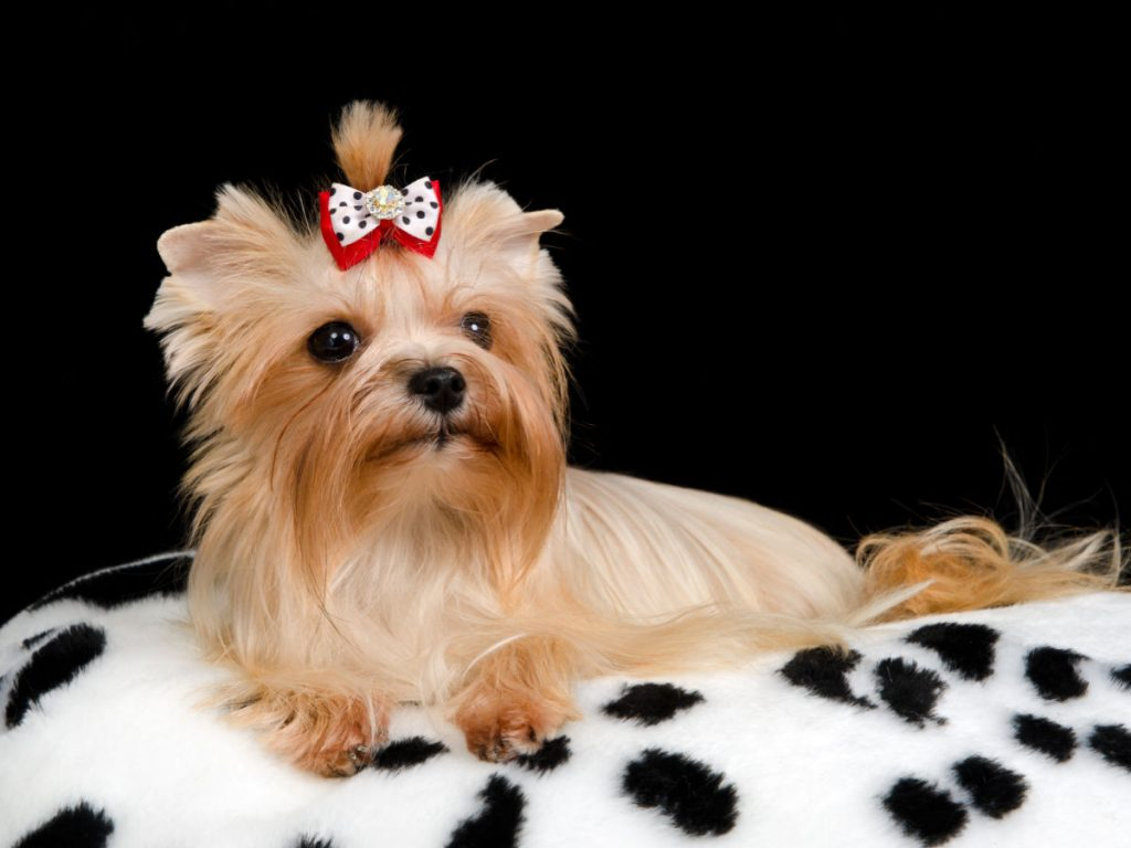 Golden Yorkshire terrier on white furry blanket with black spots