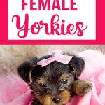 female yorkie puppy with pink bow on pink blanket