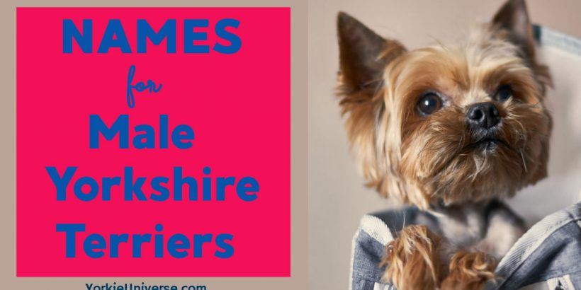male yorkie looking up