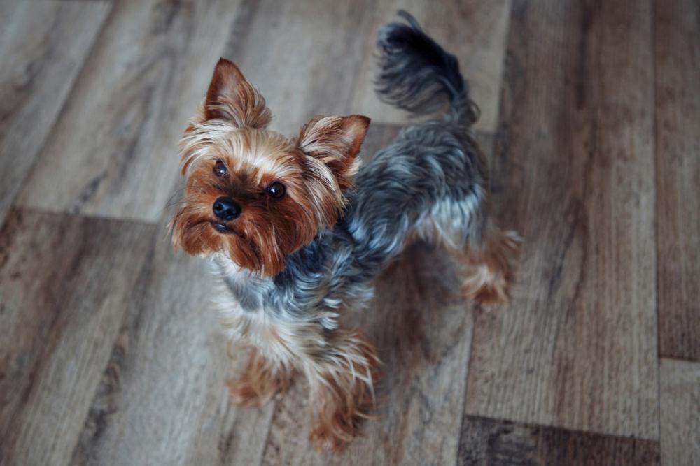 yorkie dog on wood floor looking up