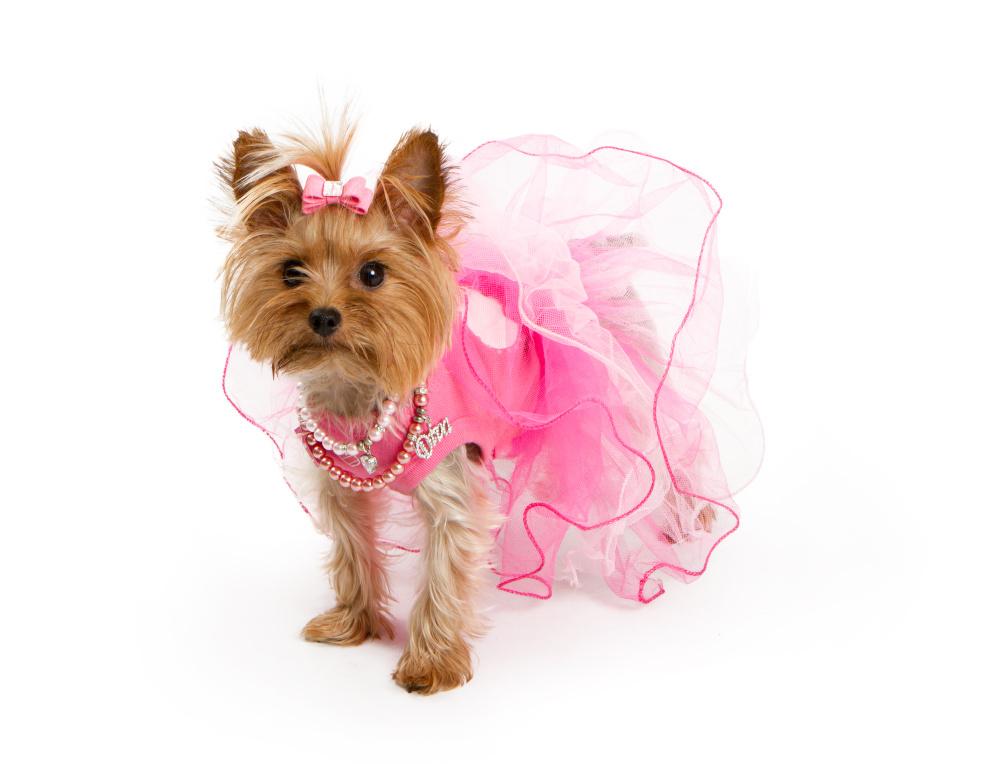 girl yorkshire terrier in pink dress