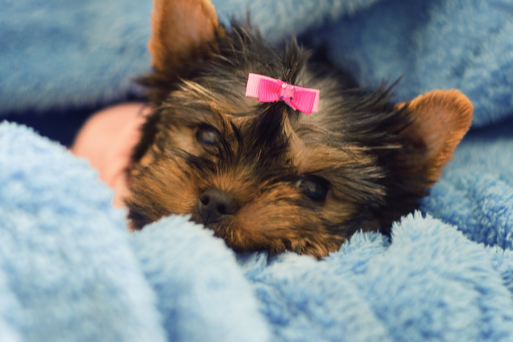 Yorkshire terrier puppy with pink bow laying in blue blanket