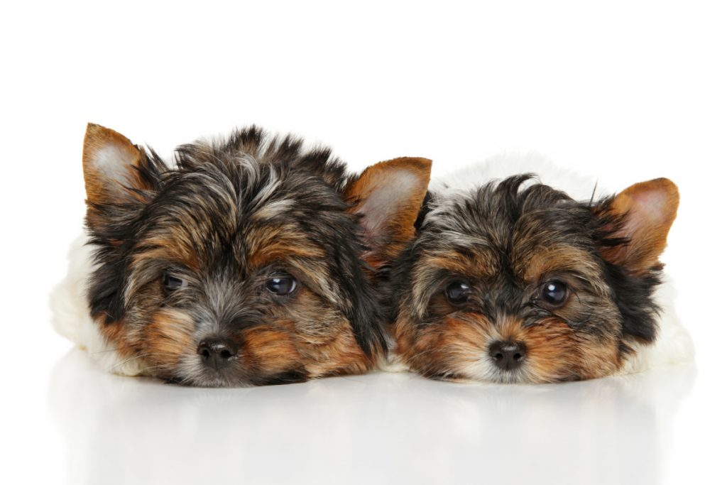 2 Yorkie puppies laying down