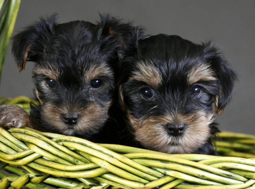 Two puppies of the yorkshire terrier in basket