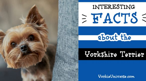 cute face of a Yorkshire Terrier