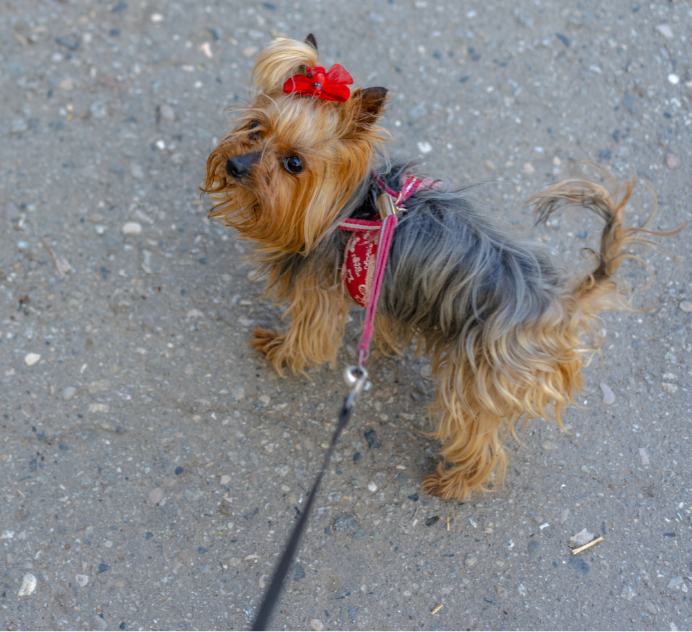 yorkie with red bow on leash
