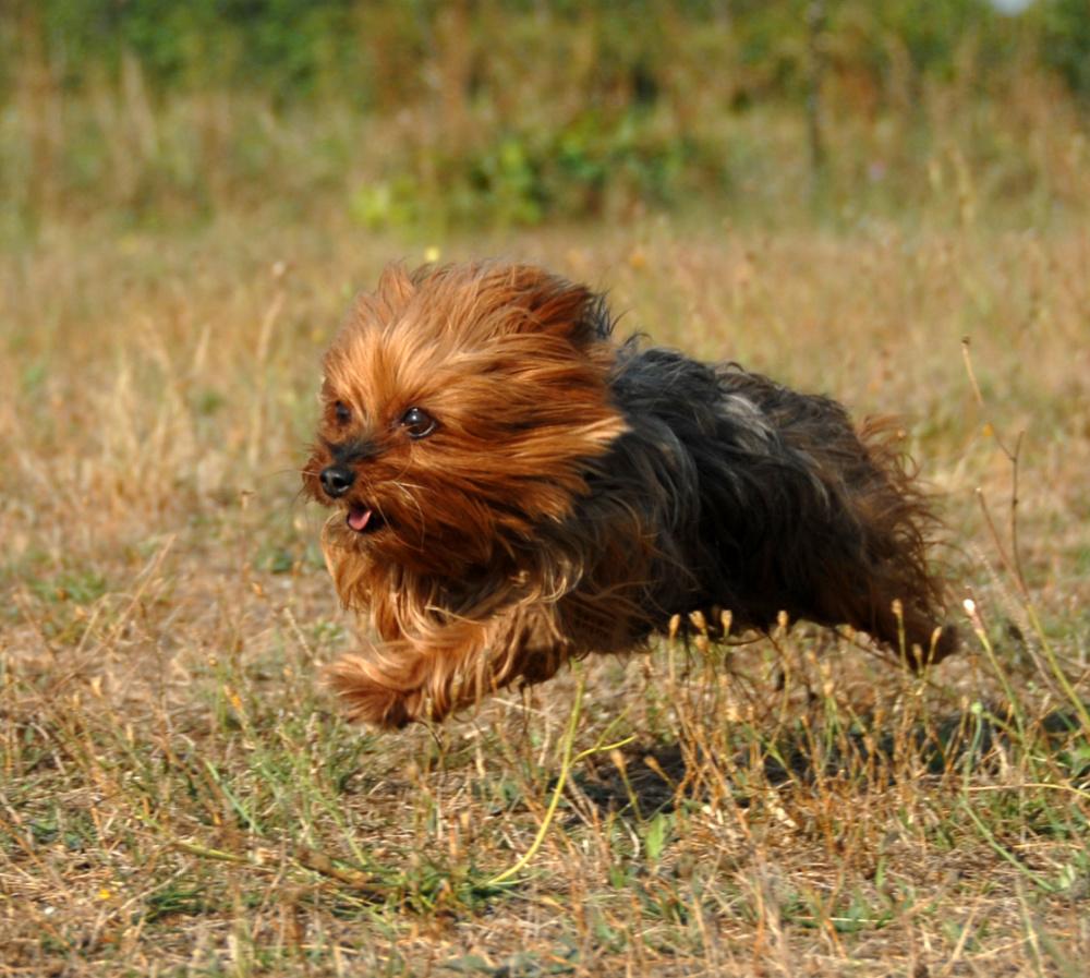 Yorkshire terrier running in grass