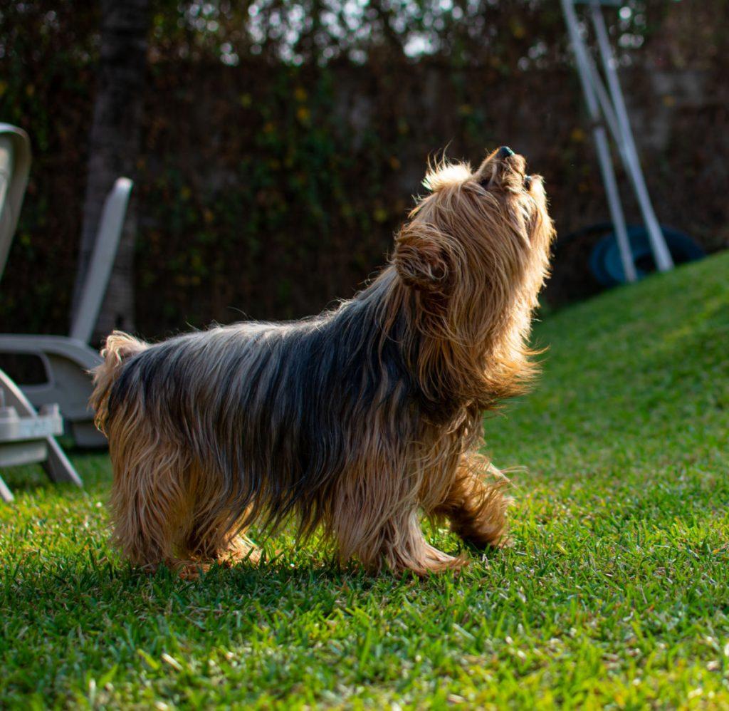 barking yorkie on grass
